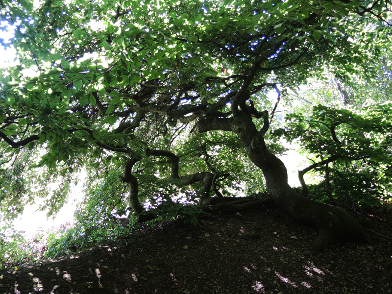 THE DWARF BEECHES OF SIONNE